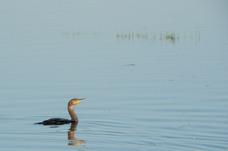 Cormorant. South of Malta, Mont.