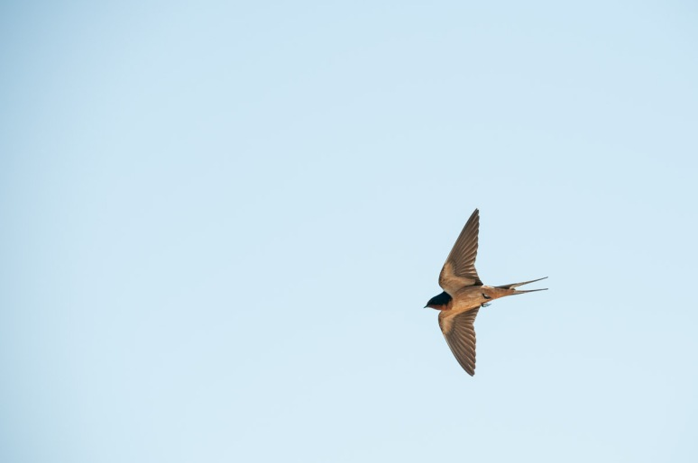 Swallow near bridge. South of Malta, Mont.