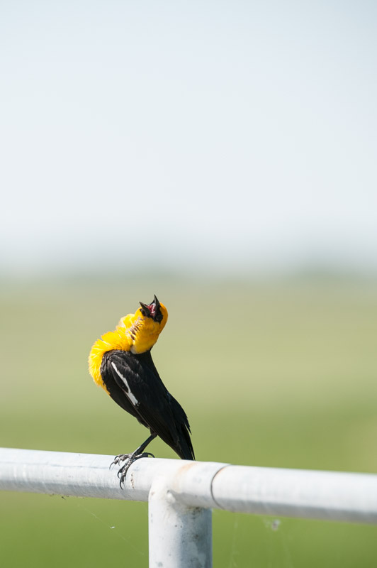 Yellow-headed blackbird. Bowdoin National Wildlife Refuge east of Malta, Mont.